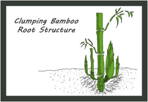 Clumping Bamboo Root