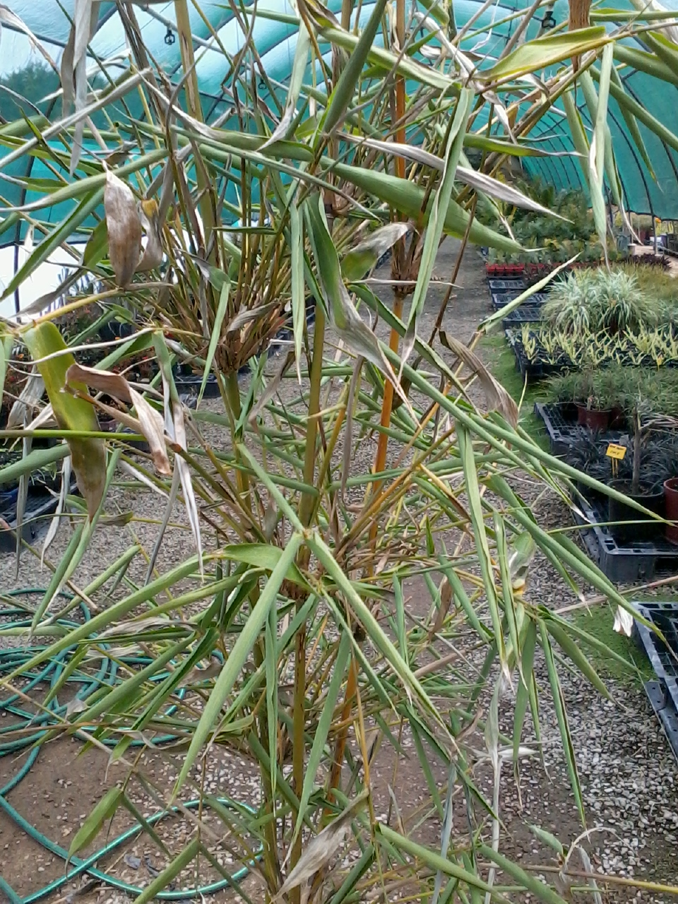 Planting Amp Care Bamboo Plants Perth Bamboo Landscape