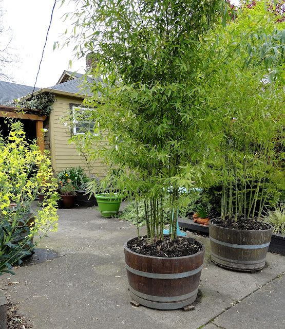 Bamboo In Pots Bamboo Plants Perth Bamboo Landscape Plants